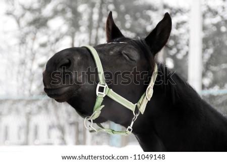 Portrait of a black horse sending out a kiss - stock photo