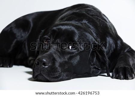 Portrait of a black Labrador Retriever - stock photo