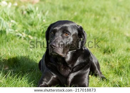 Portrait of a Black Labrador Retriever Dog Outdoors  - stock photo