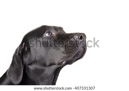 Portrait of a black Labrador Retriever looking up (isolated on white, with copy space on the right for your text) - stock photo