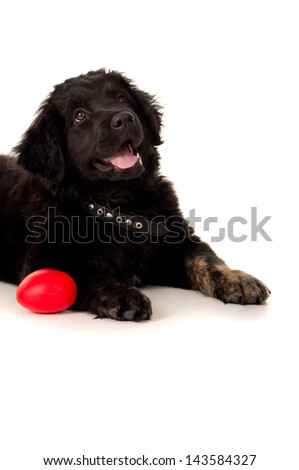 Portrait of a black labrador with a toy lying - stock photo