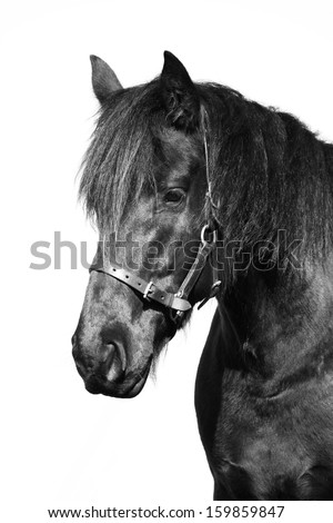 Portrait of a black purebred Frisian horse with leather halter. Image isolated on white studio background. - stock photo