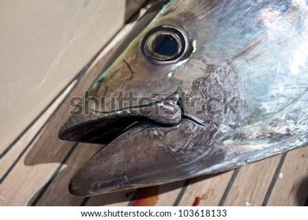 portrait of a bluefin tuna - stock photo