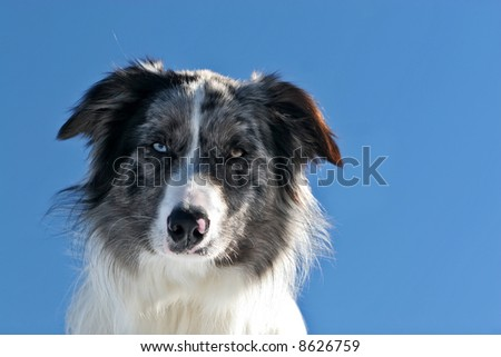 Portrait of a bluemerle border collie against blue sky - stock photo