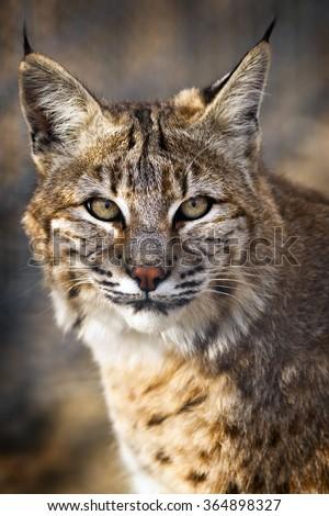 Portrait of a Bobcat - stock photo