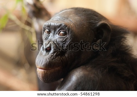 Portrait of a  Bonobo monkey (Pan paniscus) - stock photo