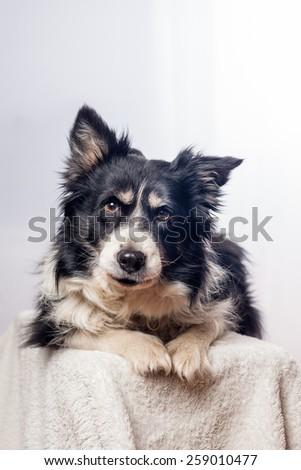 portrait of a border-collie - stock photo