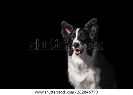Portrait of a Border Collie - stock photo