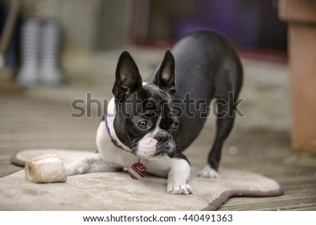 Portrait of a Boston Terrier chewing her marrowbone on her blanket on the terrace in summer - stock photo