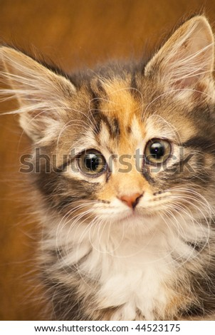 Portrait of a brown and white kitten on a brown background - stock photo