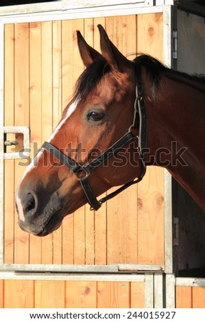 Portrait of a brown male horse in stable - stock photo