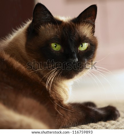 Portrait of a brown Siamese cat with green eyes, largely - stock photo