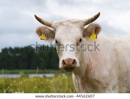 portrait of a bull calf - stock photo