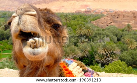 Portrait of a camel resting close to a palm forest in a Tinerhir village near Georges Todra, Morocco.  - stock photo