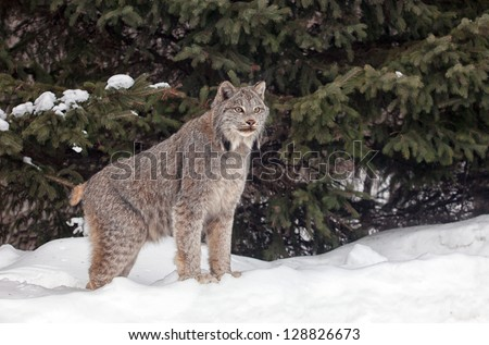 Portrait of a Canadian Lynx standing in snow with background of pine trees.  Winter landscape. - stock photo