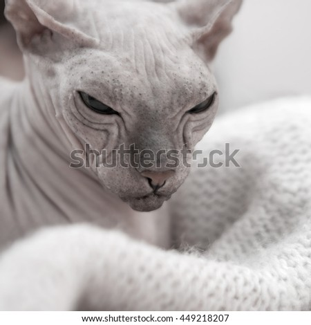 Portrait of a cat breed Don Sphinx cream color. Bald cat rests on a warm sweater - stock photo