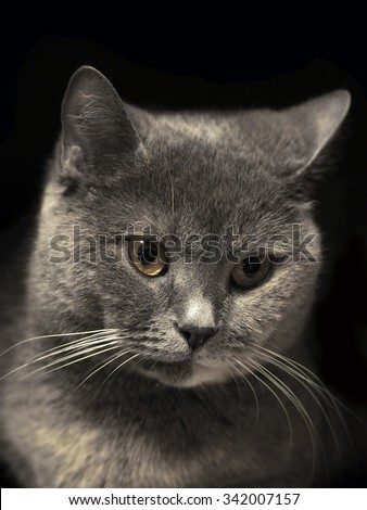 Portrait of a cat. Cheshire cat. British Shorthair cat breed. The sight of a cat. Cat's-eye. Pet the animal on a black background. Graceful and proud cat. Cheshire smile.  - stock photo