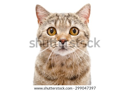 Portrait of a cat Scottish Straight closeup isolated on white background - stock photo