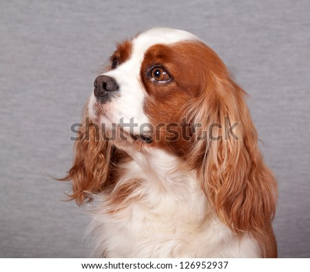 Portrait of a Cavalier King Charles Spaniel on a gray background - stock photo