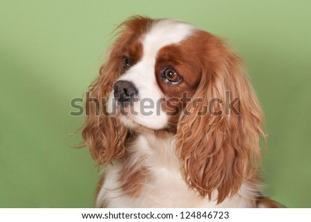 Portrait of a Cavalier King Charles Spaniel on a green backgroun - stock photo