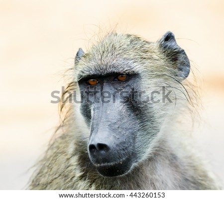 Portrait of a chacma baboon relaxing during a rainy day. Papio ursinus - stock photo