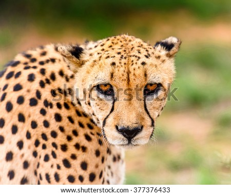 Portrait of a Cheetah at the Naankuse Wildlife Sanctuary, Namibia, Africa - stock photo