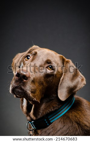 Portrait of a chocolate lab - stock photo