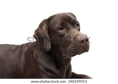 Portrait of a chocolate labrador on white background. horizontal photo. - stock photo