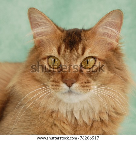 Portrait of a chocolate Somali female cat - stock photo