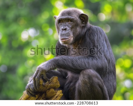 Portrait of a Common Chimpanzee in the wild - stock photo