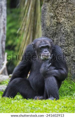 Portrait of a Common Chimpanzee in the wild - stock photo