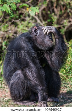 Portrait of a Common Chimpanzee in the wild, Africa. - stock photo