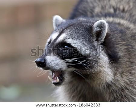 Portrait of a common raccoon - stock photo