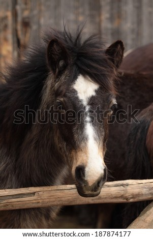 Portrait of a Connemara pony foal - stock photo