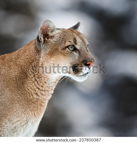 Portrait of a cougar, mountain lion, puma, panther, striking a pose, Winter scene in the woods,  wildlife America, Young Canadian cougar - stock photo