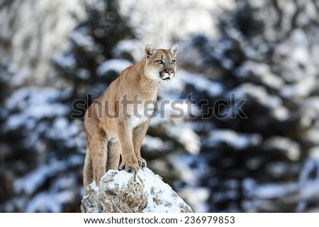 Portrait of a cougar, mountain lion, puma, panther, striking pose on a fallen tree, Winter scene in the woods, wildlife America - stock photo