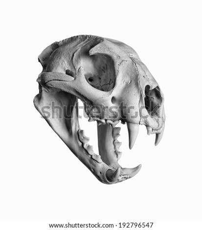 Portrait of a Cougar Skull. - stock photo