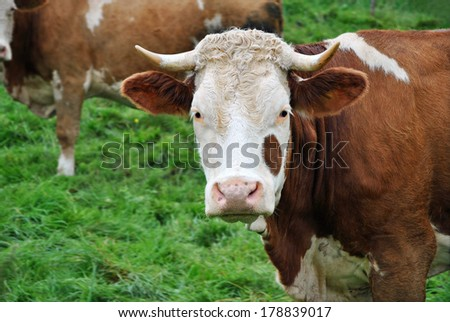 Portrait of a Cow, close up - stock photo
