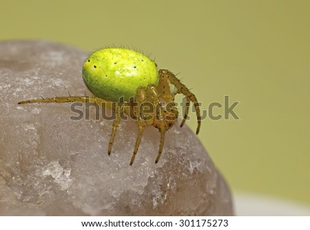 Portrait of a crab spider - stock photo