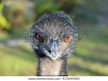 Portrait of a curious angry looking Emu, Australia - stock photo