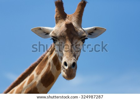 Portrait of a curious giraffe (Giraffa camelopardalis) over blue sky with white clouds in wildlife sanctuary. Australi. - stock photo