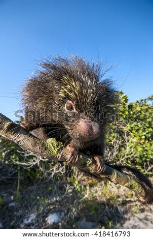 Portrait of a curious porcupine with a big nose. - stock photo