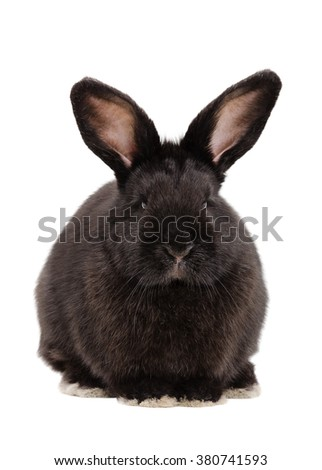 Portrait of a cute black rabbit sitting isolated on white background - stock photo