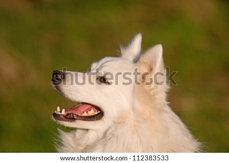 Portrait of a cute cheerful white Japanese Spitz dog. - stock photo
