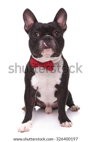 portrait of a cute french bulldog puppy wearing bow tie , sitting on white studio background - stock photo