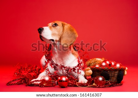Portrait of a cute funny beagle christmas dog. - stock photo