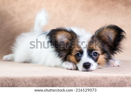 Portrait of a cute little puppy Papillon on a light brown background - stock photo