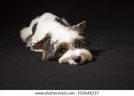 Portrait of a cute little puppy tricolor - stock photo