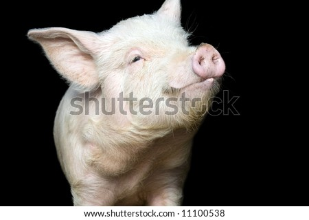Portrait of a cute pig, on black background - stock photo