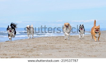 portrait of a cute purebred  chihuahua on the beach - stock photo